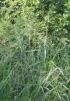 Urochloa maxima (Jacq.) R.D. Webster.