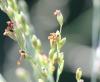 Urochloa maxima (Jacq.) R.D. Webster