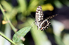 Papilio demodocus ou Papillon de Vinson ou Voilier des citronniers