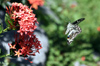 Papillon de Vinson ou Voilier des citronniers