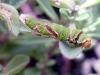 Chenille adulte, Papilio demodocus.
