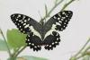 Papilio demodocus.