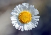 Fleur Erigeron karvinskianus.