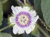Passiflora foetida L