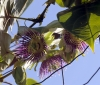 Passiflora maliformis L