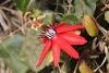 Fleur Passiflora miniata.