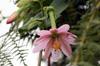 Passiflora tripartita (Juss.) Poir. var. mollissima (Kunth) Holm-Niels
