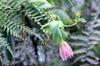 Passiflora tripartita. Grenadine banane.