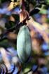 Passiflora tripartita. Fruit.