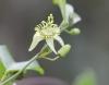 Grenadille à fleurs pâles