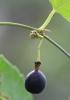 Passiflora suberosa L Grenadille à fleurs pâles