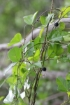 Passiflora suberosa L. Grenadille à fleurs pâles.