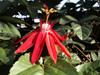 Passiflore rouge, Passiflore à feuilles de vigne