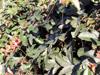 Passiflora vitifolia.