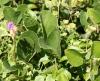 Feuilles Canavalia rosea (Sw.) DC.