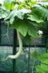 Patolle ou patole, Trichosanthes cucumerina.