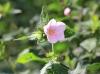 Fleur Pavonia columella Cav.