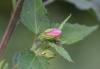Pavonie Rose. Pavonia columella Cav.