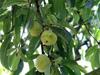 Pêcher Pêche Arbre frutier Prunus persica