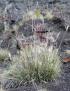 Pennisetum caffrum Leeke.