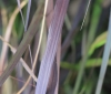 Pennisetum setaceum var. rubrum.