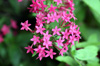 Fleurs Pentas lanceolata