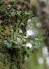 Peperomia elliptica, espèce endémique La Réunion et île Maurice