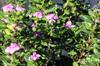 Catharanthus roseus, Pervenche de Madagascar