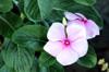 Catharanthus roseus (L.) G. Don