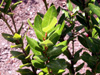 Agarista buxifolia flore indigène de La Réunion