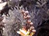 Petit bois de rempart. Agarista buxifolia.