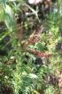 Petit bois de rempart, Agarista buxifolia.