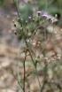 Emilia sonchifolia. Petit lastron.