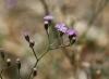 Fleurs Emilia sonchifolia. Petit lastron.