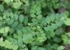 Phyllanthus tenellus Roxb. Petit tamarin.