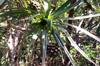 Feuilles : Petit vacoa - Pandanus sylvestris Bory. Flore endémique de La Réunion.
