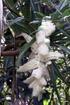Fleur : Petit vacoa - Pandanus sylvestris Bory. Flore endémique de La Réunion.