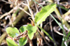 Commelina diffusa. Petite-Herbe-de-l'eau