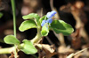 Commelina diffusa. Fleurs