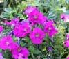 Petunia x hybrida hort. ex E. Vilm