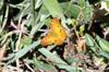 Phalanta phalanta aethiopica papillon La Réunion