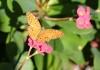 Phalanta phalanta aethiopica. Papillon de La Réunion.