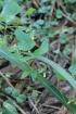 Phaseolus lunatus L.