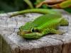 Phelsume de Bourbon. Gecko vert des Hauts