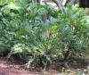 Philodendron bipinnatifidum Schott
