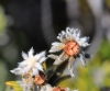 Phylica nitida Lam Ambaville bâtard