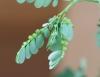 Phyllanthus amarus Thonn. Fleurs et fruits.