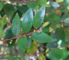 Phyllanthus phillyreifolius Poir.