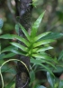 Phymatosorus scolopendria (Burm. f.) Pic. Serm.