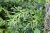 Phymatosorus scolopendria.